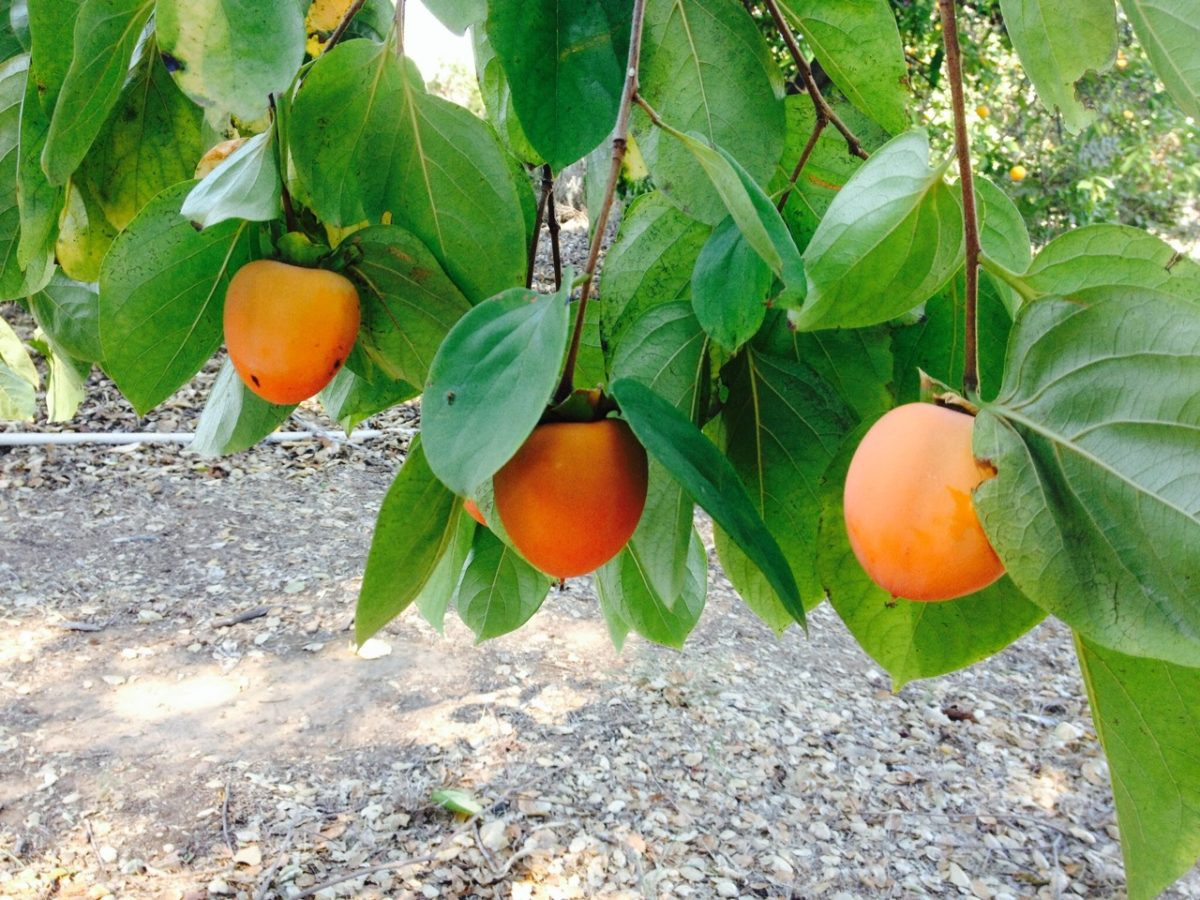 persimmons-pic